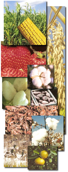 Collage of pictures of stawberries, corn, rice, cotton, crawfish, ducks, and sweet potatos